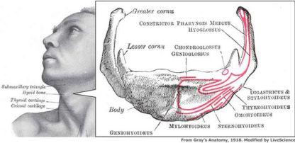 080204-hyoid-bone-02