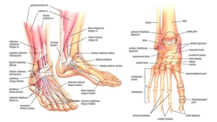 foot-anatomy