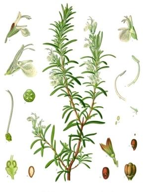 Rosmarinus_officinalis_-_Köhler–s_Medizinal-Pflanzen-258.jpg