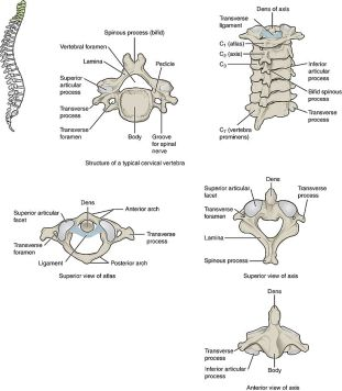 723_Cervical_Vertebrae
