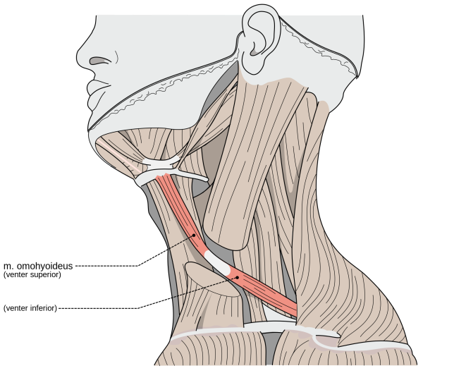 hyoid.png